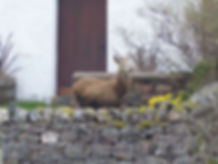 Red Deer in our self catering cottage garden