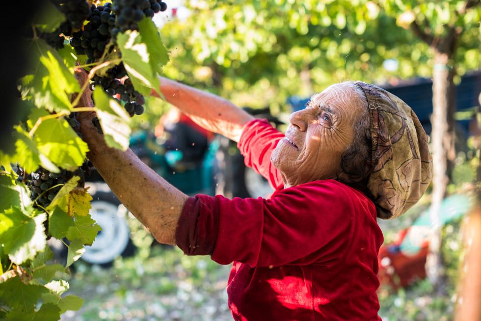 Entre los meses de Septiembre y Octubre se lleva a cabo la Vendemia en la zona de la Campania Italiana, donde trabajan muy duramente todos los integrantes de la familia inclusive las mujeres de avanzada edad.