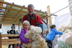 Die Schafe werden geschoren