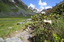 Weiße Almrosen