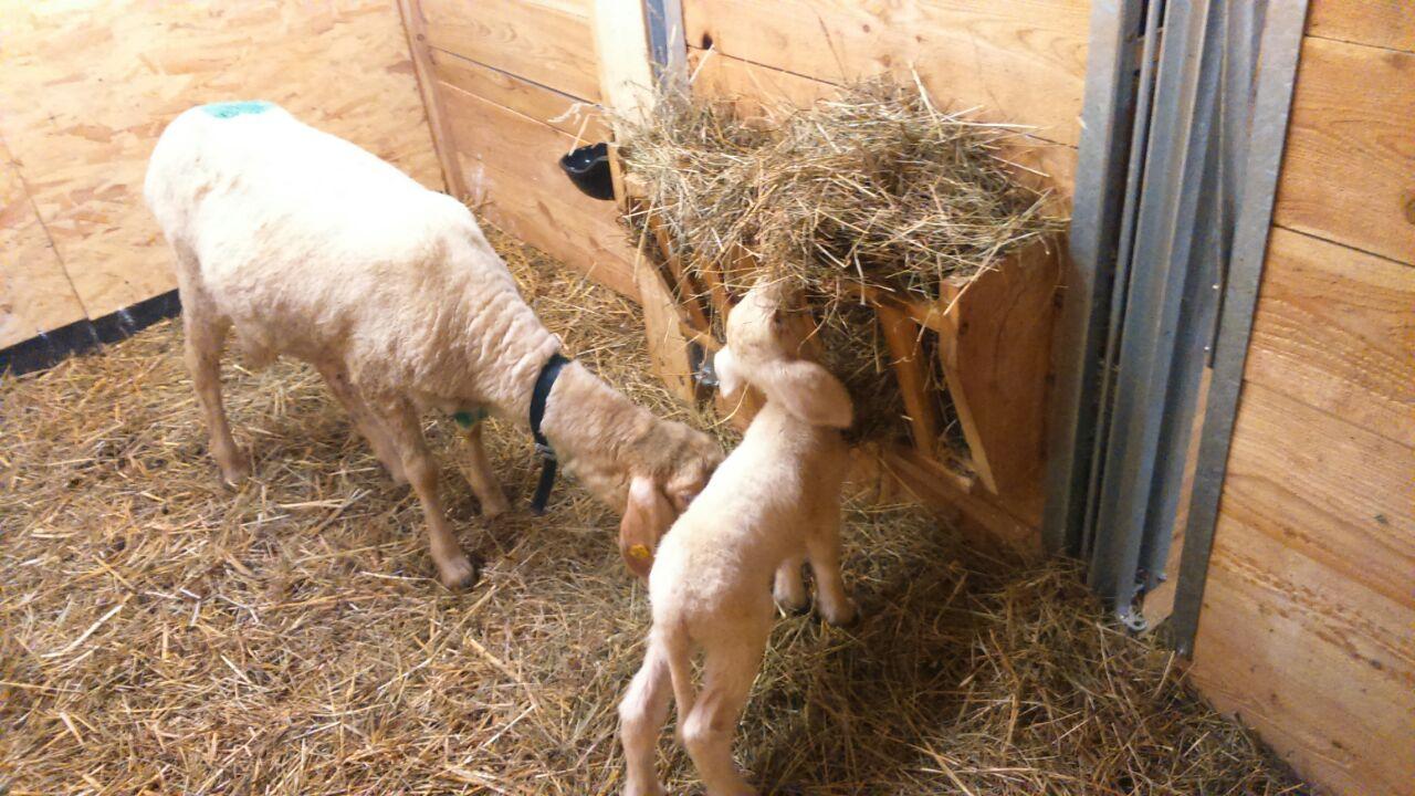 Heu für die Berghof-Schafe