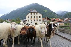 Unsere Schafe kehren wieder heim