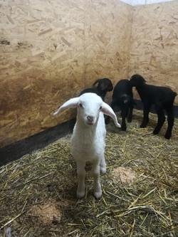 Schafe im Berghof Pfunds