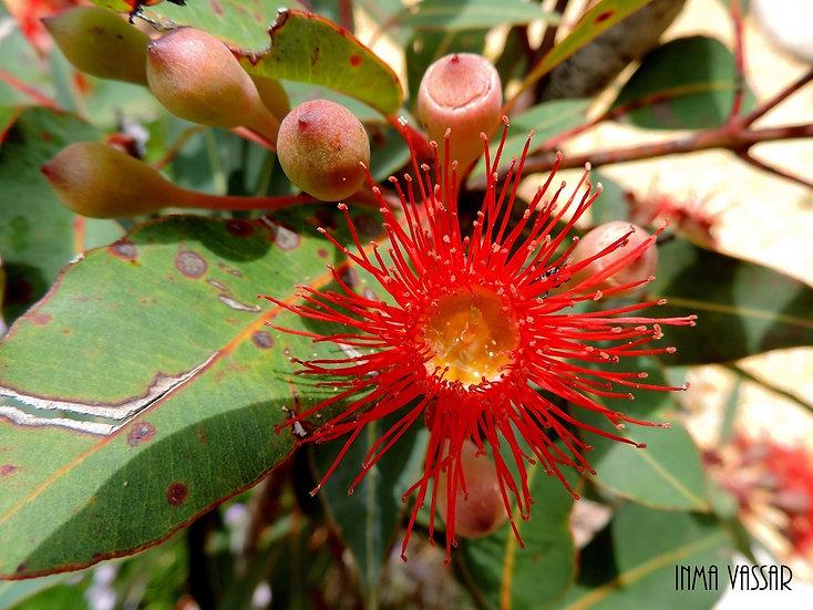 Art Print (unframed) from photo Eucalyptus Red -Landscape-