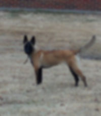 Pashaprotection dog,knut fuchs, peter scherk, florian knabl, dogsports4u, marcus hampton, ot vitosha, good of war, mohawk malinois,further moor, mecbergers,conan von clan der Wolfe, malinois,malinois puppies,purebred blegian malinois puppies,purebred malinois puppies,dvg,akc,usca,awdf,schutzhund usa,police k9,knvp,healthy belgian malinois puppies,belgian shepherd dogs,fmbb,dmc,family protection dog,agility,search and rescue,knvp,import dogs