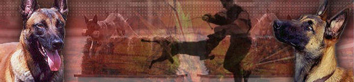 Specializing in breeding, training, and importing the belgian Malinois