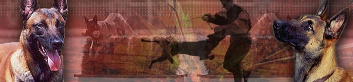 Specializing in breeding, working and importing the belgian Malinois