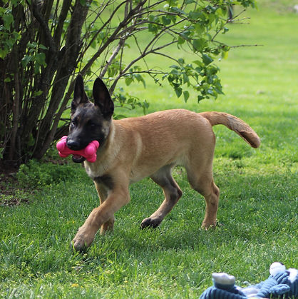 protection dog,knut fuchs, peter scherk, florian knabl, dogsports4u, marcus hampton, ot vitosha, good of war, mohawk malinois,further moor, mecbergers,conan von clan der Wolfe, malinois,malinois puppies,purebred blegian malinois puppies,purebred malinois puppies,dvg,akc,usca,awdf,schutzhund usa,police k9,knvp,healthy belgian malinois puppies,belgian shepherd dogs,fmbb,dmc,family protection dog,agility,search and rescue,knvp,import dogs