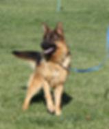 "import: German Shepherd dog ""Fiasko"""