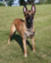 Stunning looking Luna Airport Hannover, Schutzhund 3, breed survey, V-rated in the work and in the show!