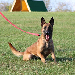 f5.jpgprotection dog,knut fuchs, peter scherk, florian knabl, dogsports4u, marcus hampton, ot vitosha, good of war, mohawk malinois,further moor, mecbergers,conan von clan der Wolfe, malinois,malinois puppies,purebred blegian malinois puppies,purebred malinois puppies,dvg,akc,usca,awdf,schutzhund usa,police k9,knvp,healthy belgian malinois puppies,belgian shepherd dogs,fmbb,dmc,family protection dog,agility,search and rescue,knvp,import dogs