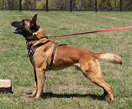 protection dog,malinois,malinois puppies,purebred blegian malinois puppies,purebred malinois puppies,dvg,akc,usca,awdf,schutzhund usa,police k9,knvp,healthy belgian malinois puppies,belgian shepherd dogs,fmbb,dmc,family protection dog,agility,search and rescue,knvp,import dogs