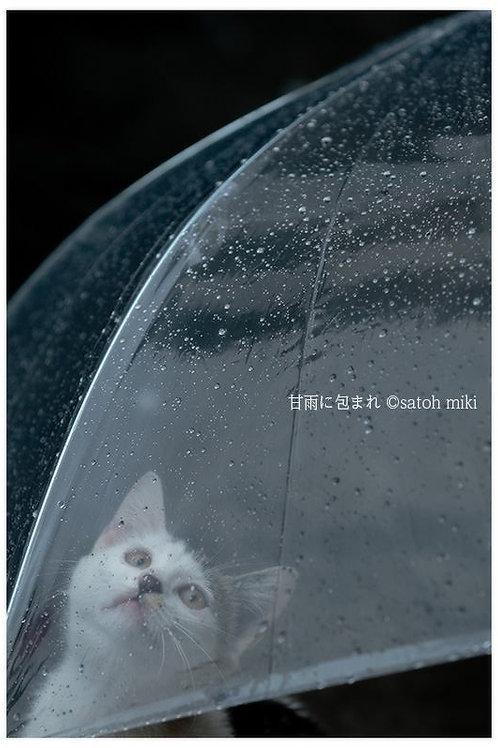 サトウミキ ポストカード「甘雨に包まれ」