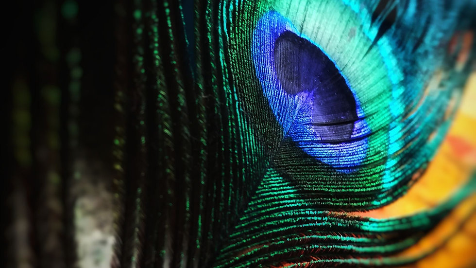 5 peacock feather.jpg
