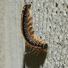 gypsy-moth-caterpillar-2848385_1920 (1).