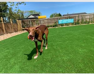 Podenco at dog daycare