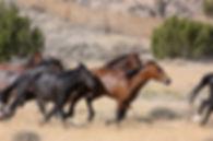 feral-horses-602278_960_720.jpg