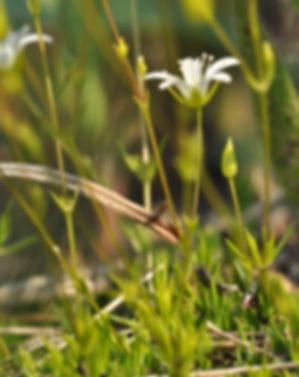 Sand wart, prairie flower