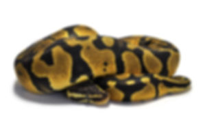 yellow ball python