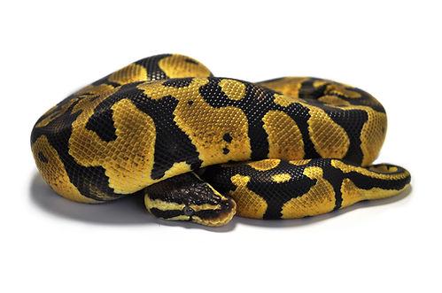 yellow ball python