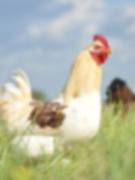 Free range hen
