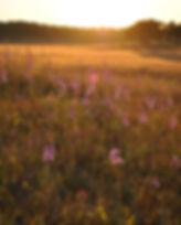Nachusa Grasslands, blazing star