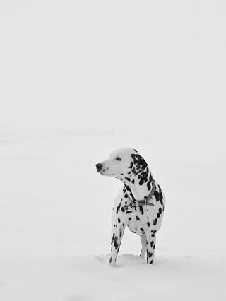dalmation in the snow