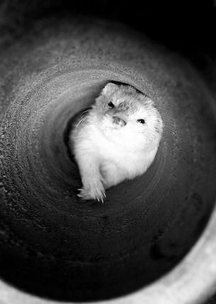 ferret portrait