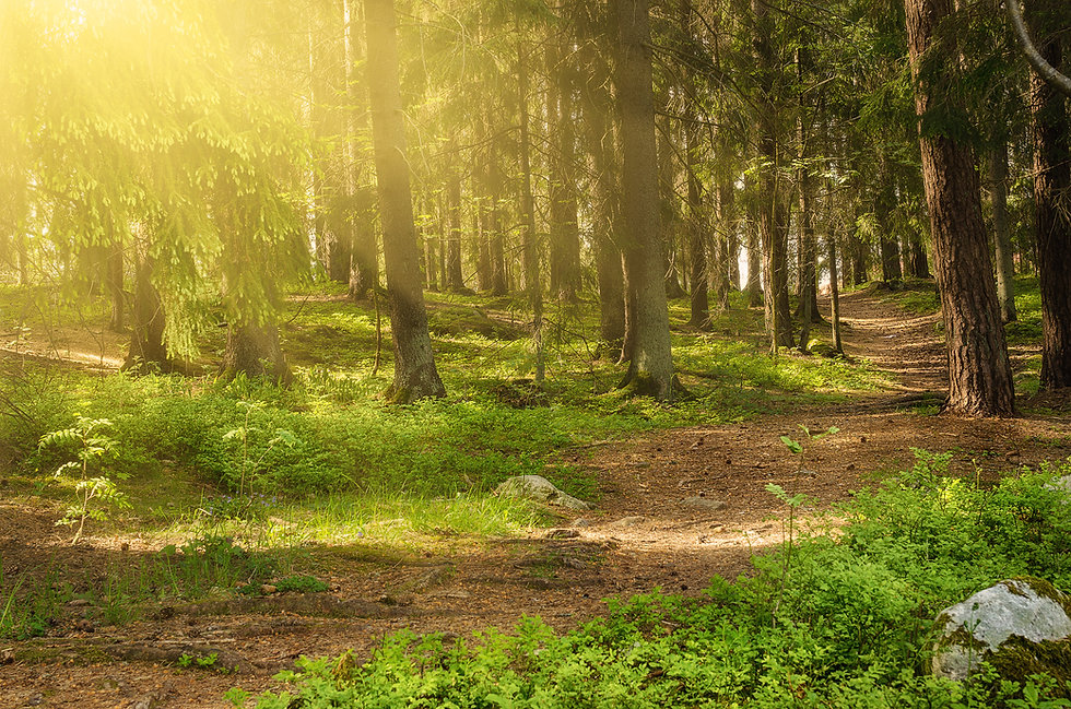North scandinavian pine sunny forest wit