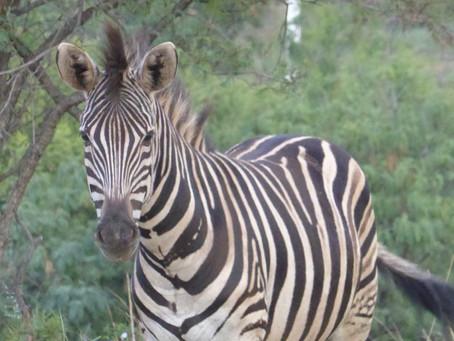 a zebra stole my heart