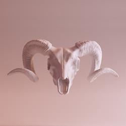 bouquetin Skull