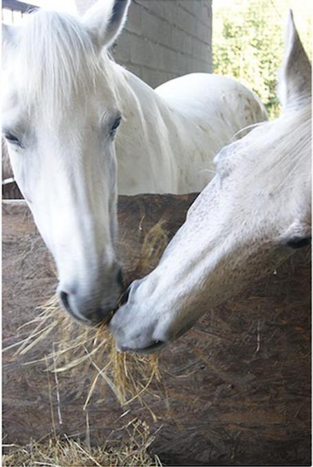 cavalli.png