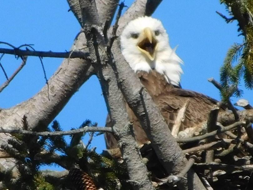 bird, birdwatching, Bald Eagle, birding, Centre County