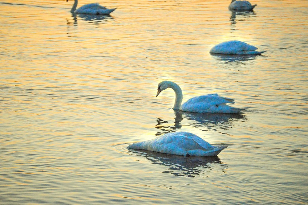 bird, birdwatching, swans, swimming, birding