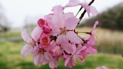研究学園駅前公園の桜