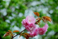20180407ゆかりの森の桜 (07)