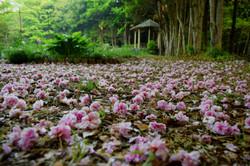 20180422ゆかりの森の桜 (01)