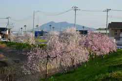 20180331千本桜(調整池しだれ桜) (03)