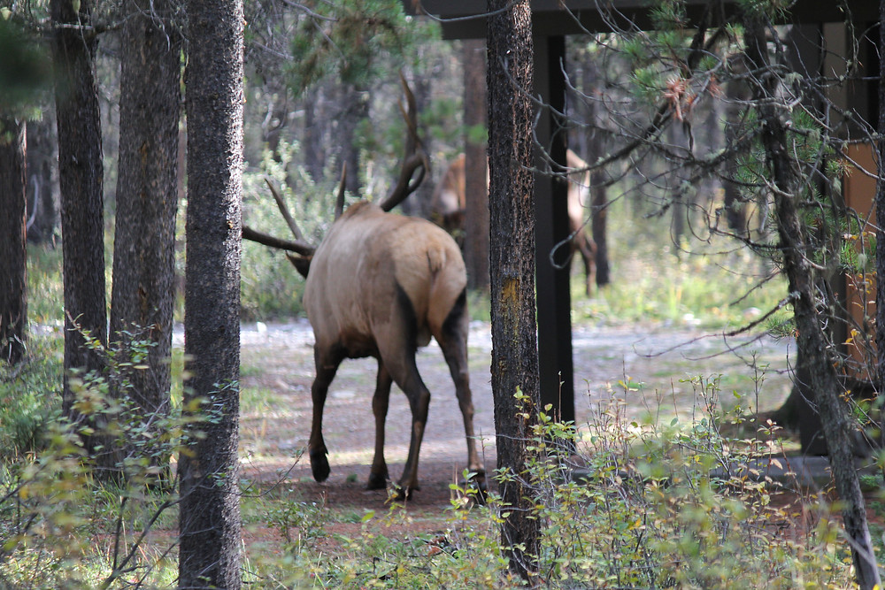 Unfriendly Elk walking away...thankfully