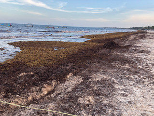Saving Paradise: Facing Sargassum
