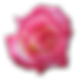 Rose-Tea-icon.png