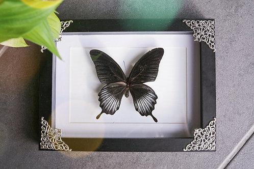 Papilio deiphobus