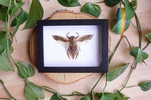 Lethocerus indicus