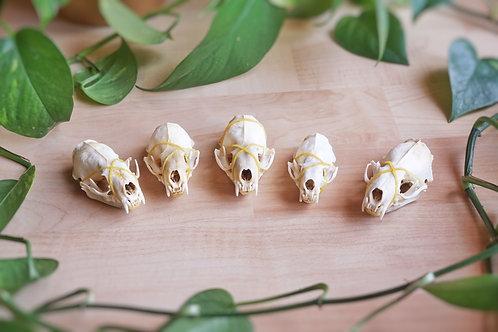 Crâne de vison