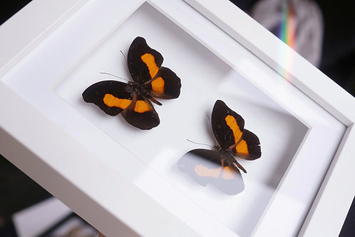 Catonephele acontius
