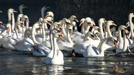 20. Swans on the Thames – Windsor.