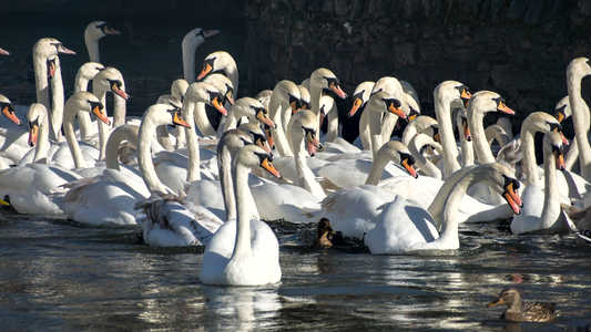 20. Swans on the Thames – Windsor.