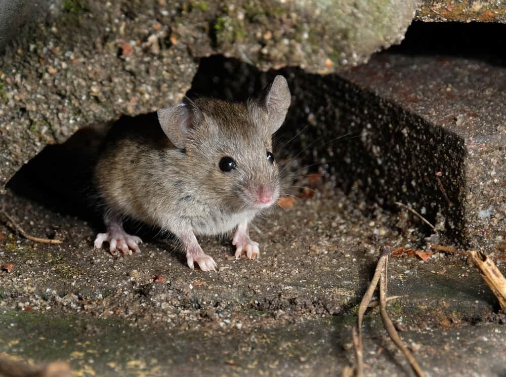 Mice may chew holes in your fiberglass insulation