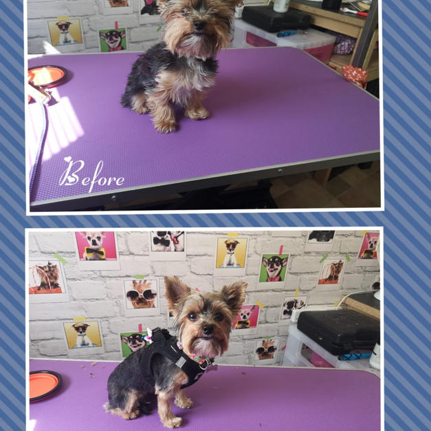 This little yorkie came in for a full groom