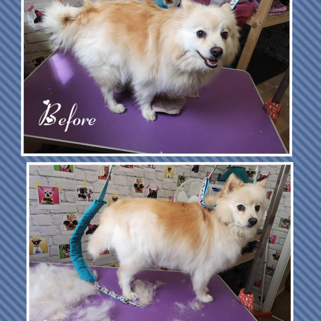 This lovely chap came in for a bath and deshed went home very fluffy